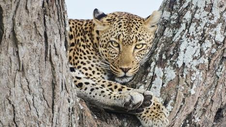 Beautiful Leopard Sitting Big Cat Predator Pic #4257 Wallpaper | animaljetz.com | Animal Wallpaper | Scoop.it