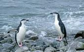 Changing climate, not tourism, seems to be driving decline in chinstrap-penguin populations | Vie marine et biodiversité | Scoop.it