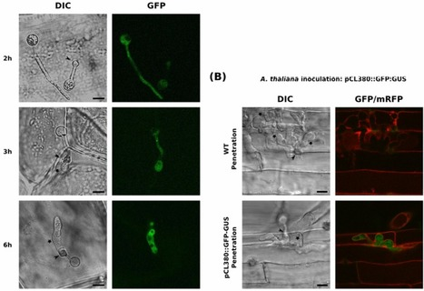 Transcriptome dynamics of Arabidopsis thaliana root penetration by the oomycete pathogen Phytophthora parasitica | Pests and diseases in forestry | Scoop.it