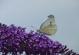 Biomimétisme : un papillon inspire de nouveaux panneaux solaires | Biomimétisme - Biomimicry | Scoop.it