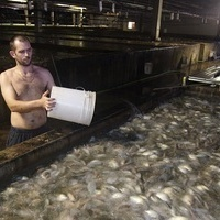 How To Raise Four Million Pounds of Fish a Year—in Virginia | Sustainable Futures | Scoop.it