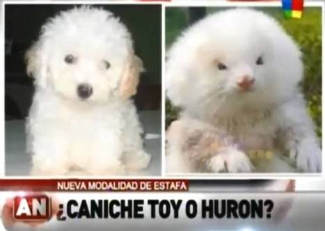How much is that ferret in the window? Argentinians fall victim to scam as pet sellers pass off fluffed-up ferrets as pedigree poodles | The Global Village | Scoop.it