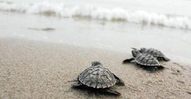 MALAYSIA: Turtles returning to Setiu | Global Insights | Scoop.it
