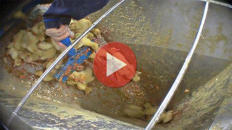 Foie gras : dans l'enfer d'un couvoir   Éthique et animaux   Nature Animals humankind   Scoop.it