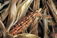 US: Local Native Americans harvest heirloom corn crucial to their heritage | INFORUM | Fargo, ND | MAIZE | Scoop.it