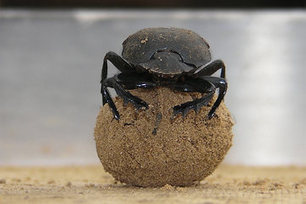 Who needs Sat-Nav? Dung Beetles Dance on Poo for Navigation   No Such Thing As The News   Scoop.it