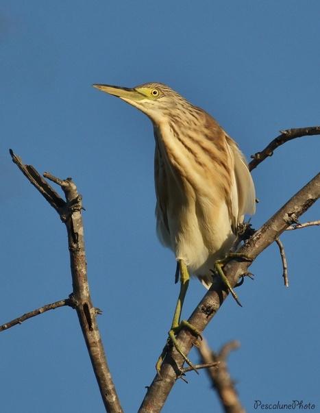Crabier chevelu (Ardeola ralloides), Squacco Heron | De Natura Rerum | Scoop.it