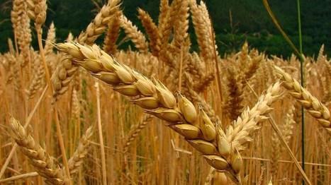 Suiza iniciará ensayo a campo abierto con trigo transgénico de mayor rendimiento | Cultivos | Scoop.it