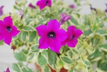 Pretty Takes on a Whole New Meaning with Surfinia Trailing Petunias from The Suntory Collection | Garden Media Group | Scoop.it