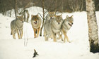 Norway is killing wolves without public debate or social consent | Agua | Scoop.it