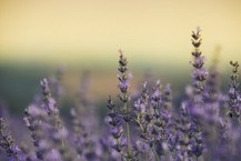 First Wine, Now Lavender? Another Iconic French Industry Threatened By Climate Change | Daily News Bite | Scoop.it