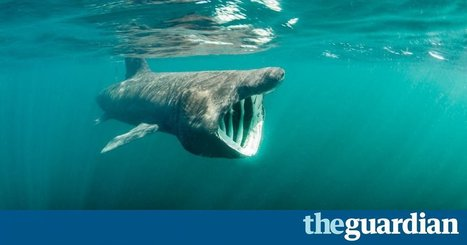 Forget Nessie, now is the time to spot basking sharks in Scottish waters | All about water, the oceans, environmental issues | Scoop.it