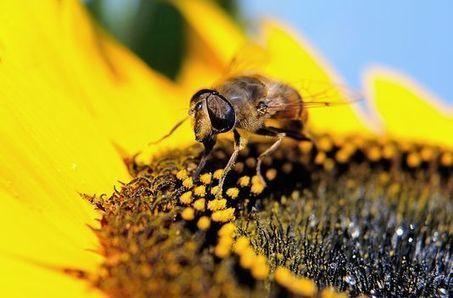 Les pesticides tueurs d'abeilles toujours autorisés malgré leur dangerosité | SandyPims | Scoop.it