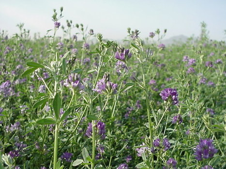 The Benefits of Alfalfa to the Southwest Ecosystem | Arizona Farm Bureau | CALS in the News | Scoop.it