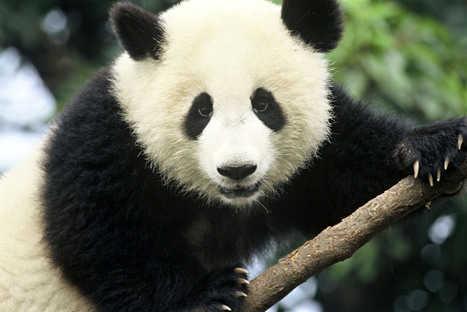 Giant Panda | Species | WWF | Giant Pandas | Scoop.it