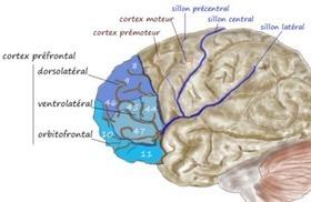 Le rôle du cortex préfrontal dans l'apprentissage | GESTION COGNITIVE | Scoop.it