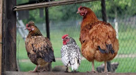 Après avoir tout perdu, cet éleveur cherche des parrains pour ses poules - Ouest France | Agriculture en Pays de la Loire | Scoop.it