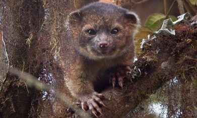 Carnivore 'teddy bear' emerges from the mists of Ecuador | BIOSCIENCE NEWS | Scoop.it