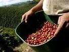 Noticia de Caracol Producción de café en noviembre bajó 9%   Colombian Flavors   Scoop.it