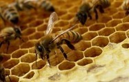 Honey Bees Rapidly Evolve to Overcome New Disease - OIST (2015) | Ag Biotech News | Scoop.it