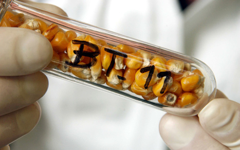 Cutting back on dominant GMO Corn Easier Said Than Done - Patents, Seeds, Corporate Control | YOUR FOOD, YOUR ENVIRONMENT, YOUR HEALTH: #Biotech #GMOs #Pesticides #Chemicals #FactoryFarms #CAFOs #BigFood | Scoop.it