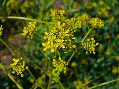 Isatis tinctoria - Schede piante by Natural1 | Informazione scientifica di fitoterapia, nutraceutica e cosmesi naturale | Scoop.it