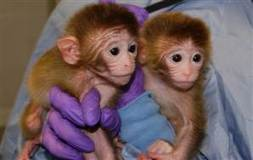 Baby monkeys with 6 genomes are a first | Skylarkers | Scoop.it