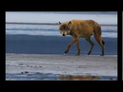 Salmon Fishing Wolves of Alaska | GarryRogers Biosphere News | Scoop.it