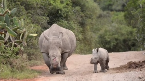 Poaching: Kruger has a lot to learn from Swaziland | What's Happening to Africa's Rhino? | Scoop.it