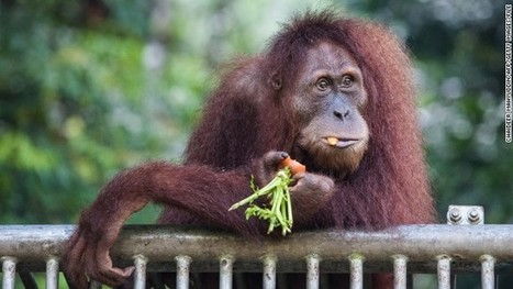 Your Halloween candy may harm an orangutan | Food for Pets | Scoop.it