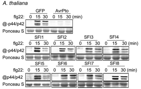 PLOS Pathogens: Functionally Redundant RXLR Effectors from Phytophthora infestans Act at Different Steps to Suppress Early flg22-Triggered Immunity (2014)   Plant-Microbe interactions   Scoop.it