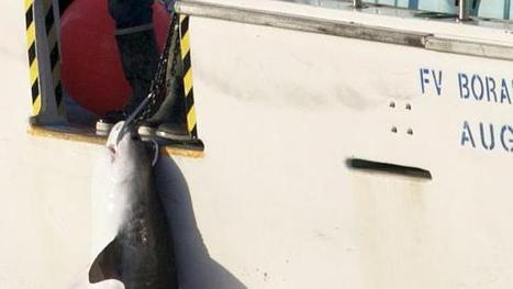 Undersized tiger shark hooked through the head in Yallingup | The Shark Narrative | Scoop.it