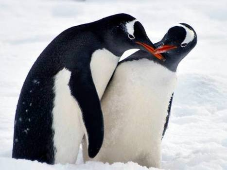 Citizen science : 1.5 million volunteers have discovered penguins have to poo in order to breed | Science ouverte - Open science | Scoop.it