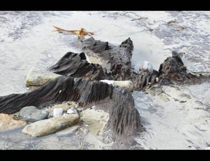 Une forêt fossilisée refait surface sur la plage de Concarneau | Mes passions natures | Scoop.it