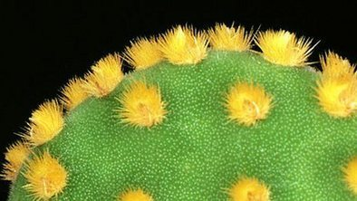 Cactus-inspired Material Cleans Oily Water | Biomimicry | Scoop.it