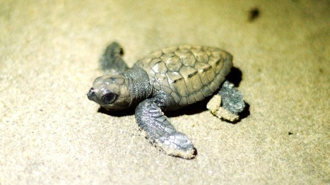 Climate change is turning sea turtles female | Global Issues | Scoop.it