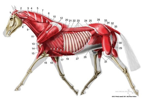 Trotting horse deep muscle anatomy diagram | Lateral chart veterinary illustration | Veterinary anatomy | Scoop.it