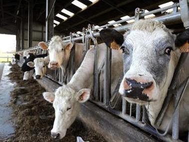 Les Etats-Unis parviendront-ils à empêcher la propagation de la vache folle ? | Actualité de l'Industrie Agroalimentaire | agro-media.fr | Scoop.it