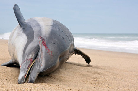 Dolphin Virus Outbreak Is Deadliest Ever : DNews | Food for Pets | Scoop.it