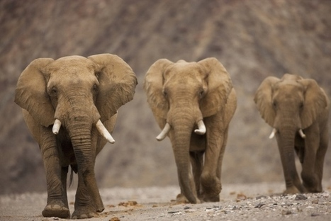 How elephants avoid cancer : Nature News & Comment | Immunology and Biotherapies | Scoop.it