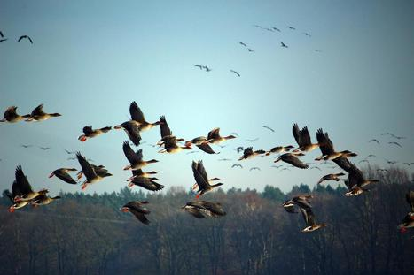 Scientists determine how birds soar to great heights | De Natura Rerum | Scoop.it