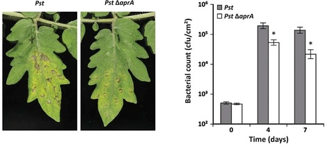 MPMI: Pseudomonas syringae evades host immunity by degrading flagellin monomers with alkaline protease AprA (2014) | plant-microbe interactions | Scoop.it