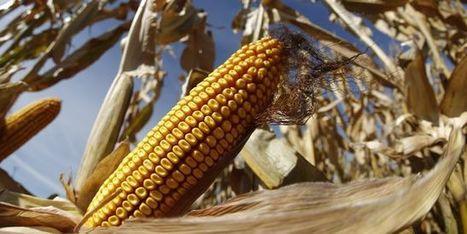 Riz, blé, maïs: les Etats-Unis attaquent la Chine à l'OMC   Géopolitiques   Scoop.it