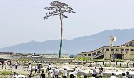 La restauración del pino milagro que resistió el tsunami japonés superará el millón de euros | Agua | Scoop.it