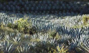 El mezcal, 'cuna' de nuevos exportadores | Hecho en México | Scoop.it