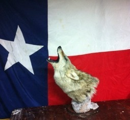 Texas Wildlife Taxidermy provides top notch services in Amarillo! | Texas Wildlife Taxidermy provides top notch services in Amarillo! | Scoop.it