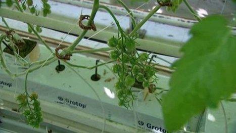 Cultiver hors sol des tomates bio ? C'est possible   Chimie verte et agroécologie   Scoop.it