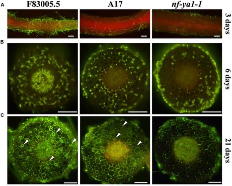 Frontiers | MtNF-YA1, A Central Transcriptional Regulator of Symbiotic Nodule Development, Is Also a Determinant of Medicago truncatula Susceptibility toward a Root Pathogen | Plant Biotic Interact... | Crosstalks in Plant-microbes interactions | Scoop.it