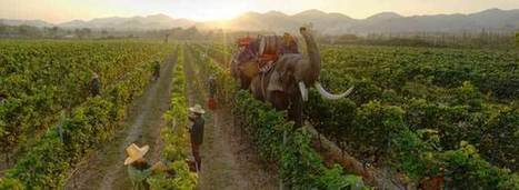 Unbelievable. A Walk on the Thai Side - making wine in Thailand... | Southern California Wine  and  Craft Spirits | Scoop.it
