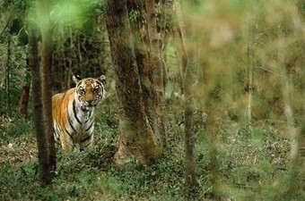 Isolated Tigers Travel Surprising Lands to Find Mates   Education   Scoop.it